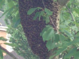 Beehive in tree closeUp