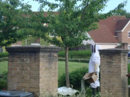 Removing beehive from tree