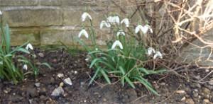 Snowdrops in flower
