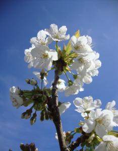 Cherry blossom April 2014