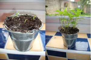 Chili pepper compare growing 280514
