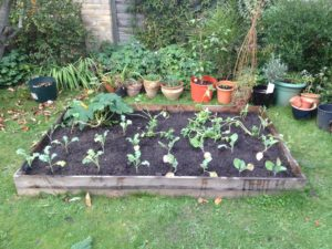Raised veg bed with winter veg